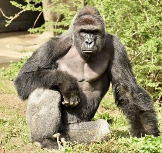 Con khỉ đột có tên Harambe (Ảnh: Sở thú Cincinnati)