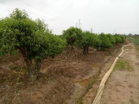 Ống hút bùn nối từ ruộng ông Đón ra các hộ trồng đào