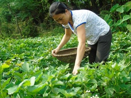 Những bó rau khoai chị Hồng trồng được không chỉ là một phần thức ăn hàng ngày cho cả gia đình mà còn là một nguồn thu để bé Kim Ngân có thêm một ít tiền mua thuốc