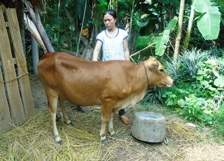 Con bò giống của Uỷ ban Mặt trận xã cho, thứ tài sản có giá trị lớn nhất trong nhà giờ chị Hồng cũng tính đem ra bán để có tiền chạy chữa bệnh tật cho con