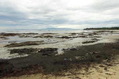 Không phải do sự cố môi trường biển nhiễm độc rong biển mới chết và dạt vào bờ như thế này