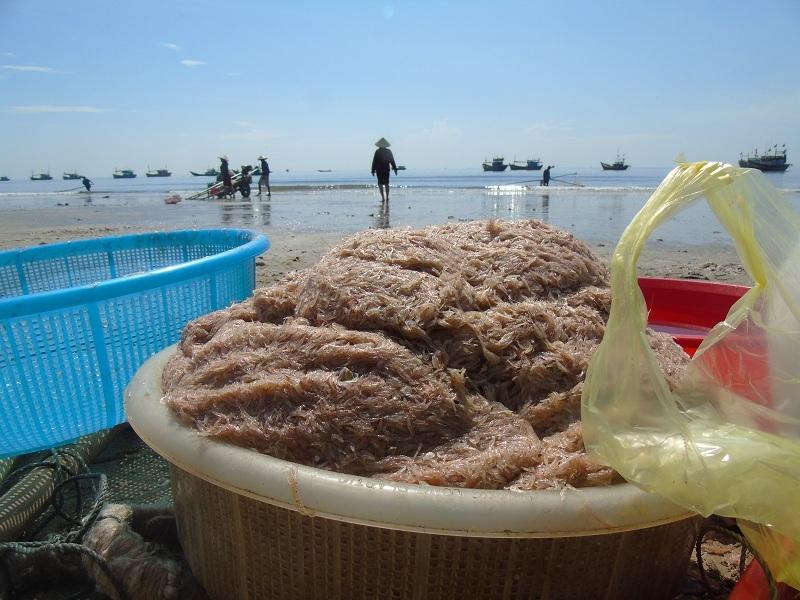 Ngư dân khai thác được hàng chục tấn khuyếc (ruốc biển) mỗi ngày