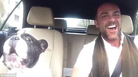 """Đoạn video ghi lại cảnh chú chó bun thể hiện """"tình yêu âm nhạc"""" nồng nàn của mình. Chú hú theo tiếng hát của chủ mỗi khi đến những nốt cao của nhạc phẩm """"Diamonds""""."""