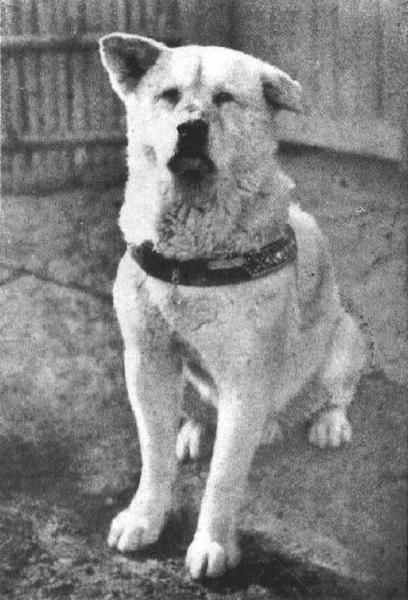 Chú chó Hachiko trong những ngày tháng cuối đời năm 1935