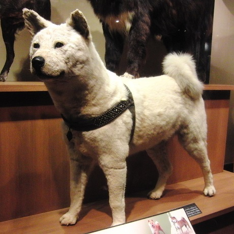 Hachiko trong viện bảo tàng