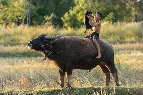 Tuổi thơ trên lưng trâu (Ảnh: Sarawut Intarob)