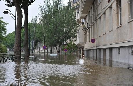 Thiên nga bơi lội trong thành phố. Hàng chục ngàn hộ gia đình phải sống trong cảnh ngập lụt và mất điện.
