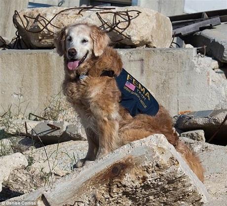 Bretagne là một trong 300 chú chó cứu hộ đầu tiên đi vào vùng tâm chấn, nơi tình hình phức tạp và nguy hiểm nhất sau khi tòa tháp đôi đổ sập.