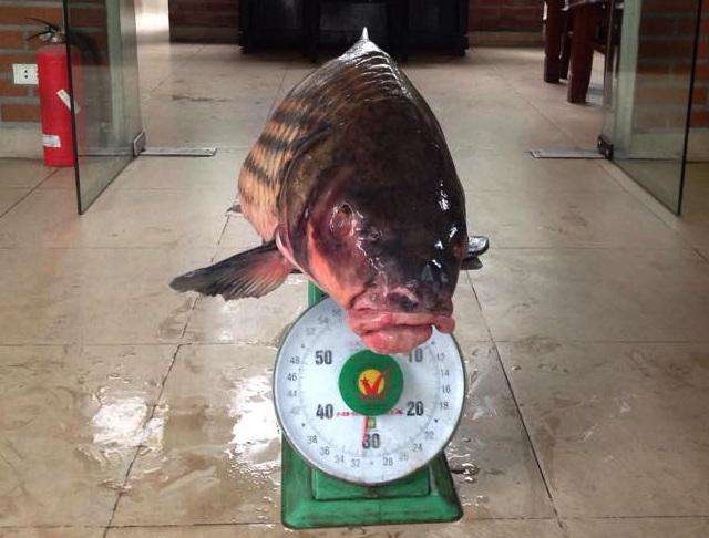 Cá Hô nặng tới 34kg có giá 50 triệu đồng.