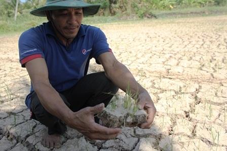 Lúa chết, đồng nứt nẻ nên nhiều nông dân ở ĐBSCL lâm vào cảnh trắng tay (ảnh Minh Giang)