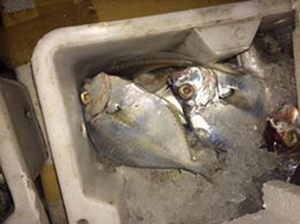 Khoảng 4 tấn cá ướp lạnh bốc mùi hôi thối đã bị cơ quan chức năng bắt giữ.