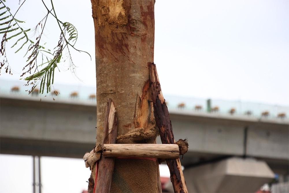 Phần lớn các cây phượng đều có đường kính từ 20-30cm, cao khoảng 4-5m.