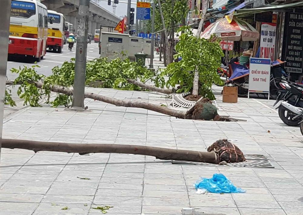 Cây mới trồng nhưng không đúng quy định cây đường phố, bầu cây còn nguyên vỏ bọc, không được chống đỡ nên mới trồng đã đổ (đường Quang Trung - Hà Đông) - Ảnh do Tiến sĩ Hà cung cấp.