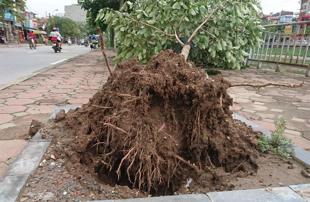 Cây xanh mới trồng đổ hàng loạt trên phố Kim Giang.