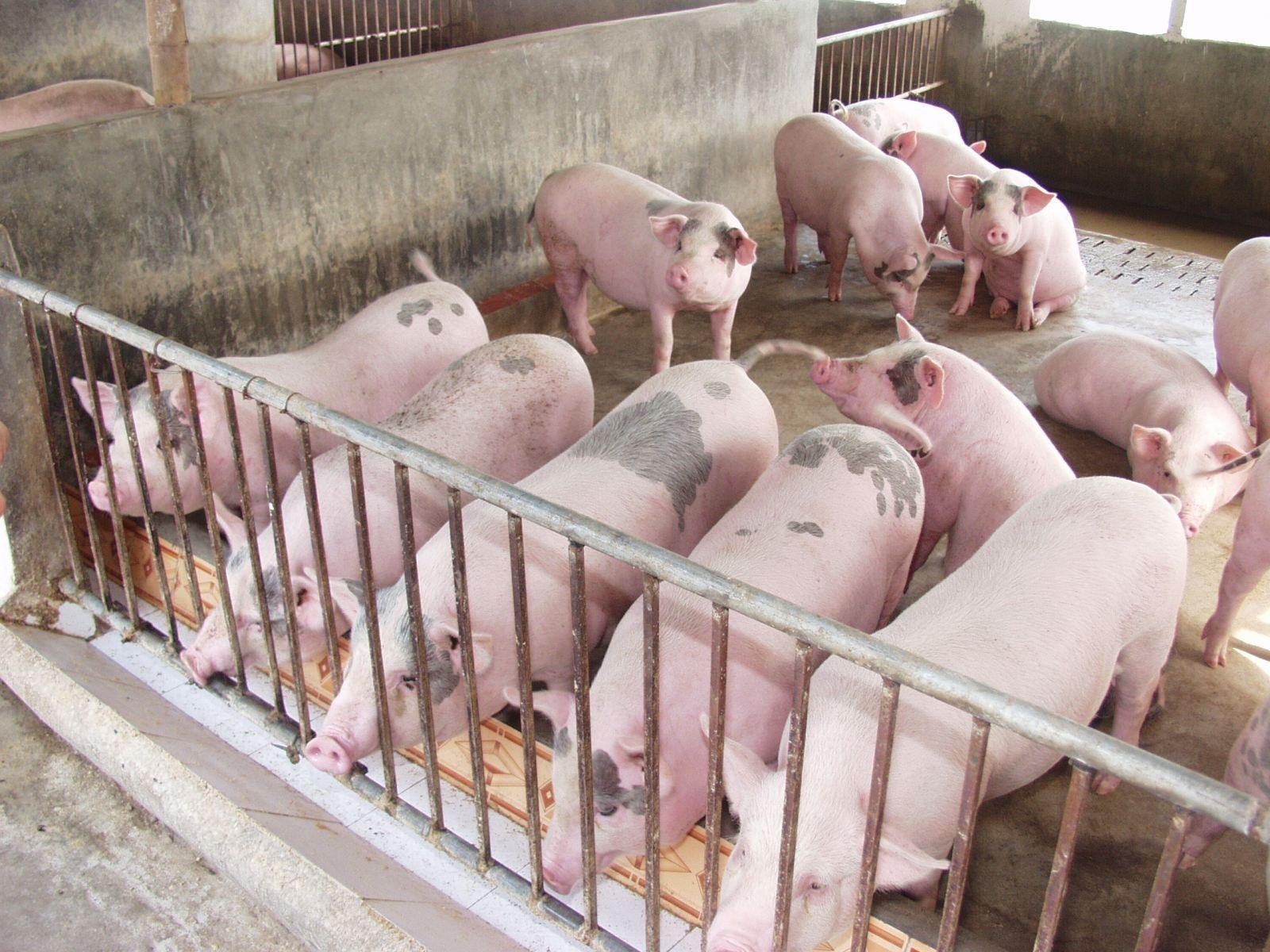 Chất tạo nạc Salbultamol đã giảm trong chăn nuôi (Ảnh minh họa internet).