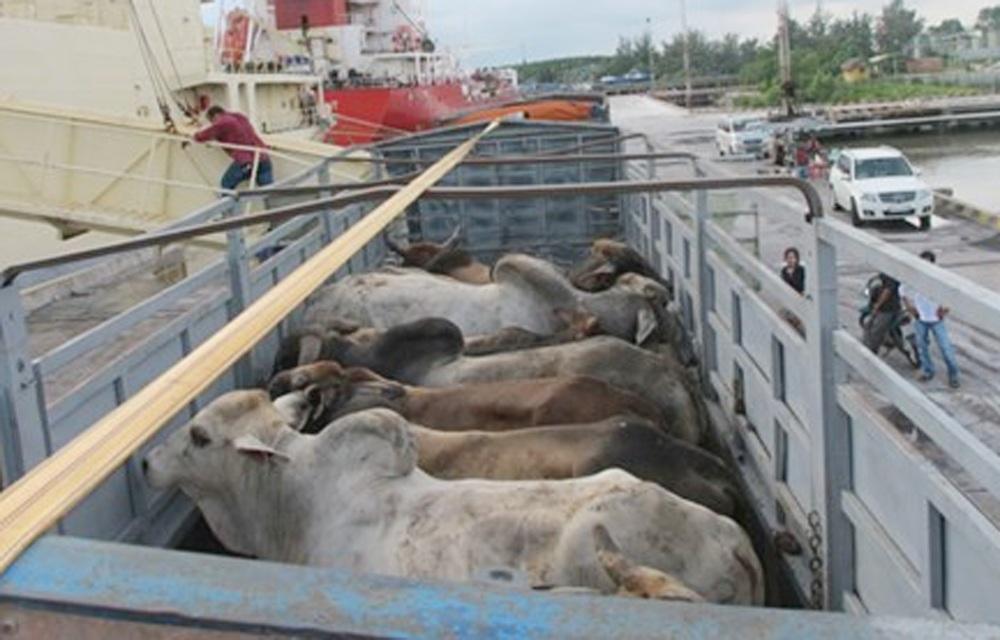 Ông Lê Bá Lịch cho rằng việc nhập hàng nghìn con trâu, bò sống về giết mổ là việc rất hiếm đối với nhiều quốc gia trên thế giới (ảnh minh họa internet).