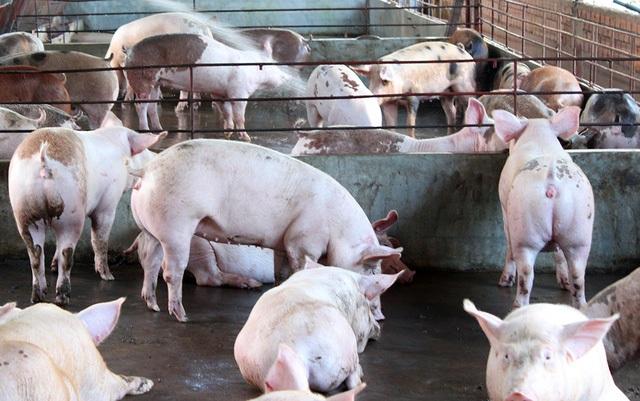 Thời gian gần đây, Thanh tra Bộ NN&PTNT liên tục phát hiện chất cấm trong thức ăn chăn nuôi (Ảnh minh họa: Vĩnh Thủy).