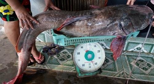 Con cá lăng đuôi đỏ nặng 43 kg với giá bán trên 17 triệu đồng