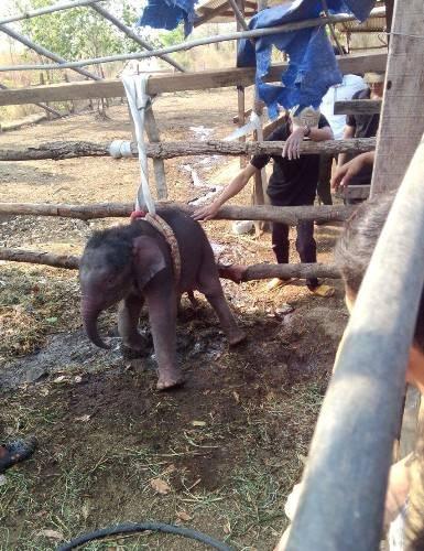 Con voi rừng 2 tháng tuổi được giải cứu thành công