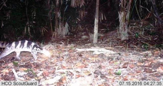 Con cầy vằn được phát hiện