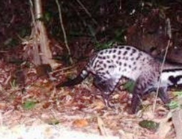 Loài cầy này theo IUCN được cho là có thể đã tuyệt chủng tại Trung Quốc và Việt Nam, nay được phát hiện tại KBTTN Phong Điền