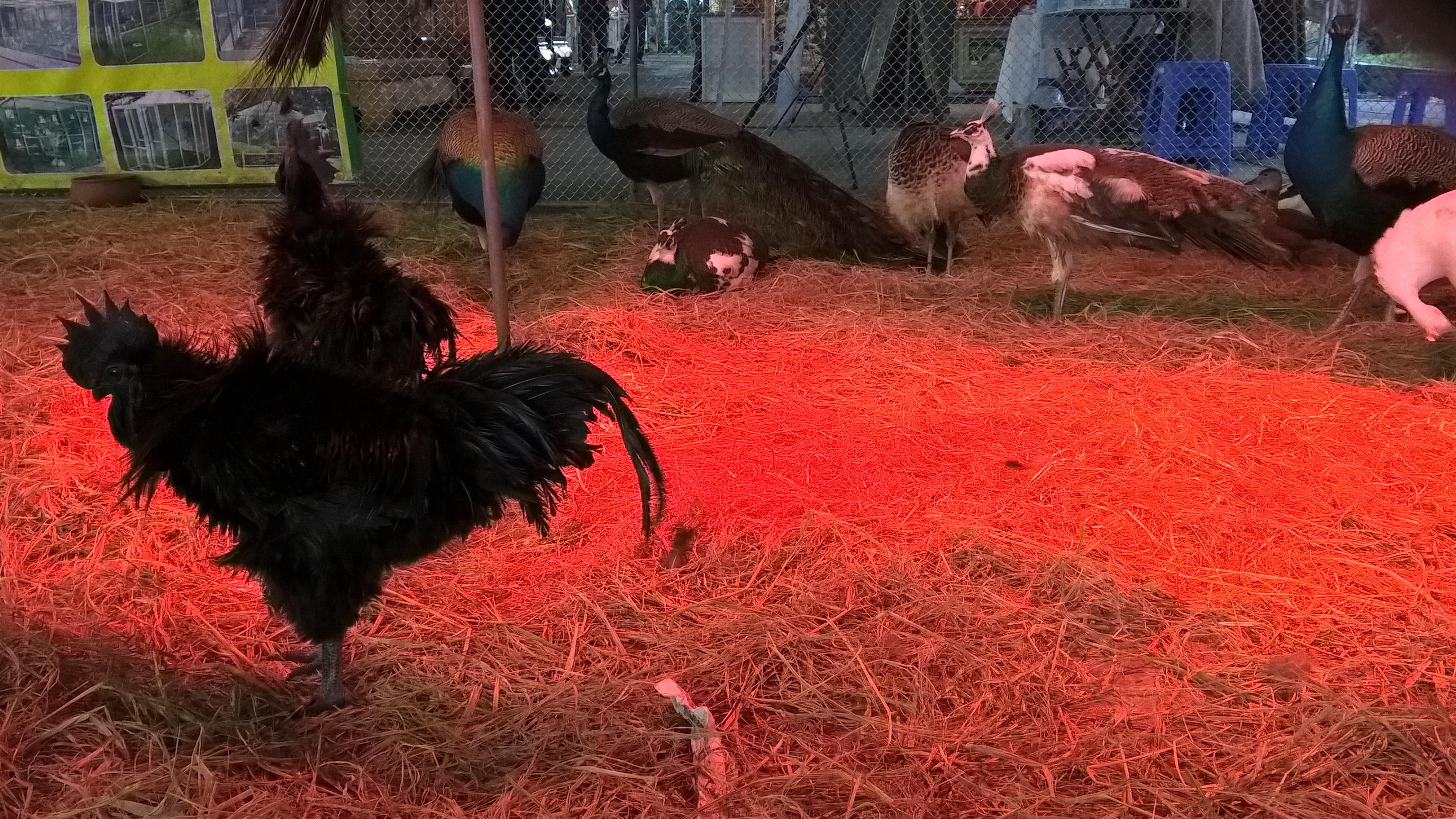Những con gà đen giá khoảng 2 - 3kg, chủ hàng cho biết có người trả 20 triệu/con nhưng không bán