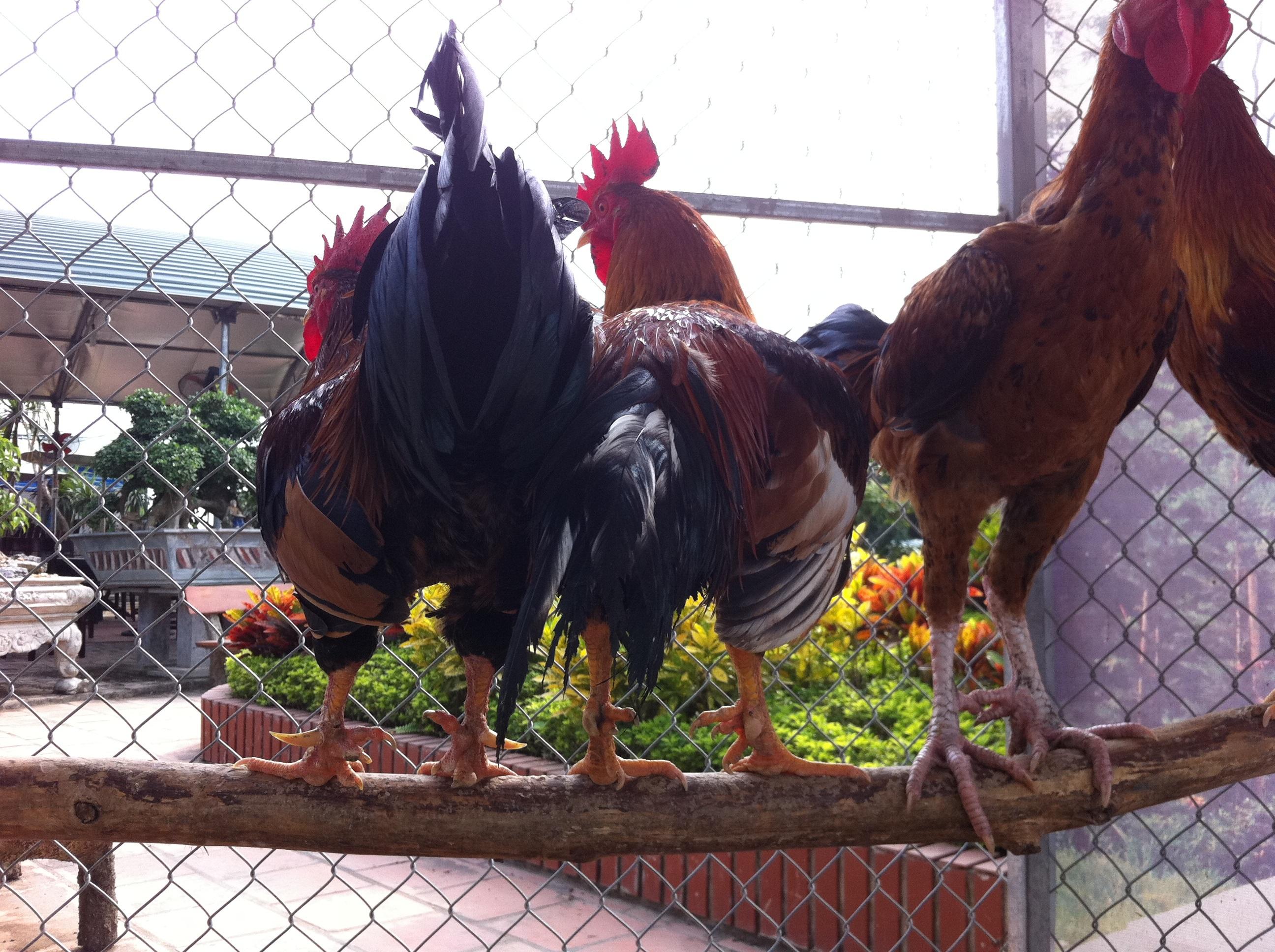 Bỏ tiền triệu mua gà 9 cựa về cúng Tết - 3