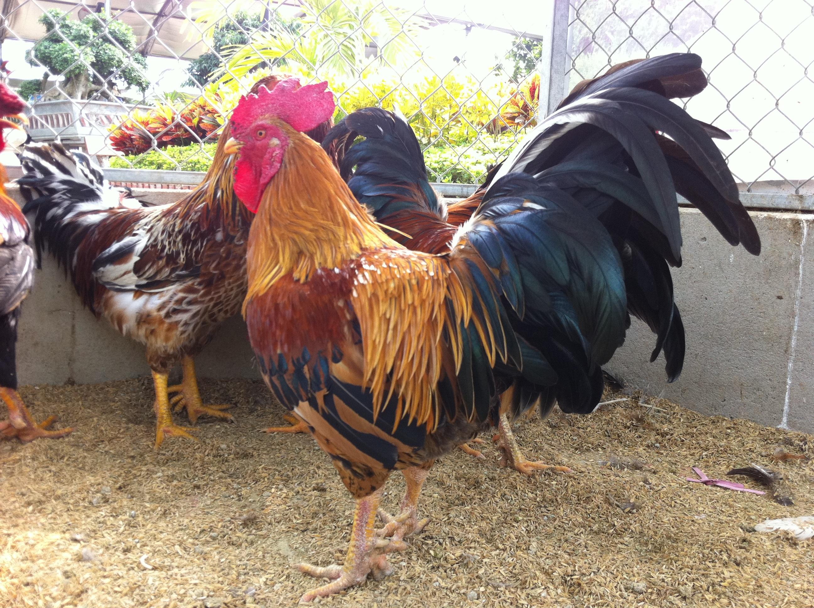 Bỏ tiền triệu mua gà 9 cựa về cúng Tết - 2