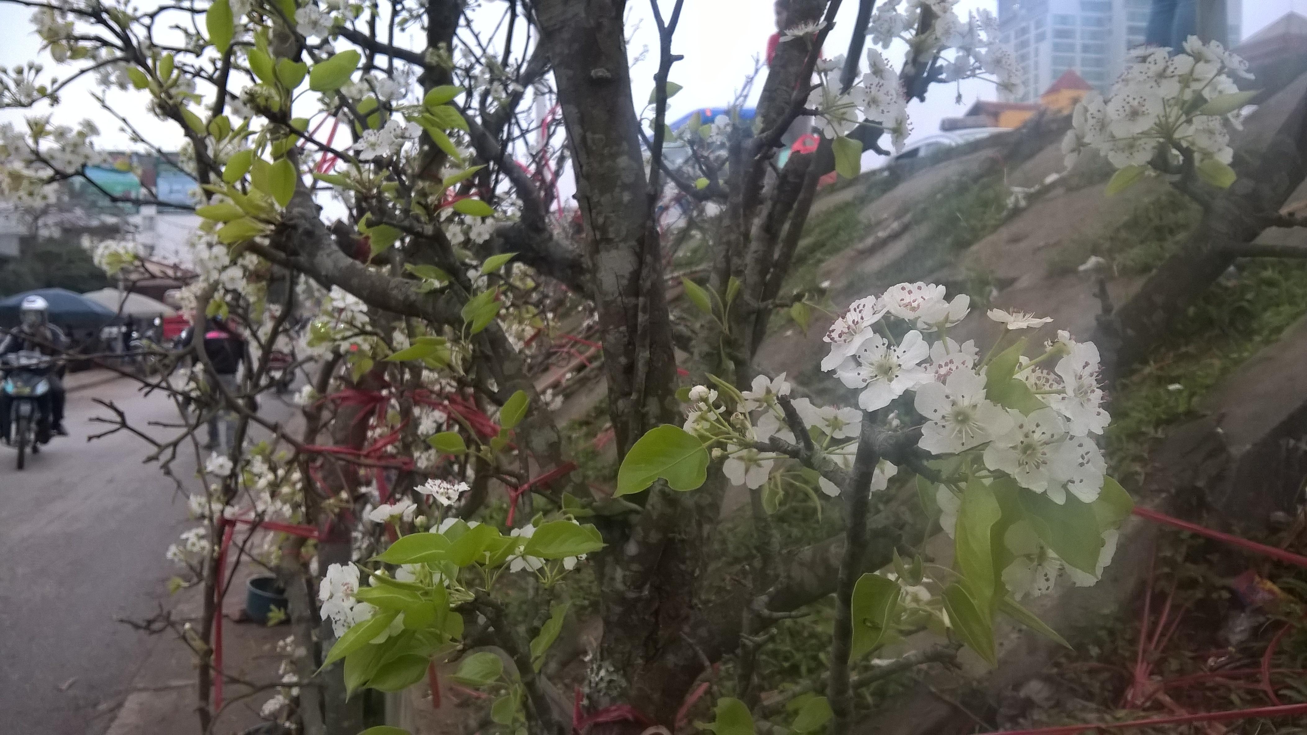Những cành lê rừng to giá 5 triệu đồng, chủ hàng giao cây tại nhà. Loại hoa này được cho là sẽ chơi được ít nhất 2 tuần lễ từ khi chớm nở.