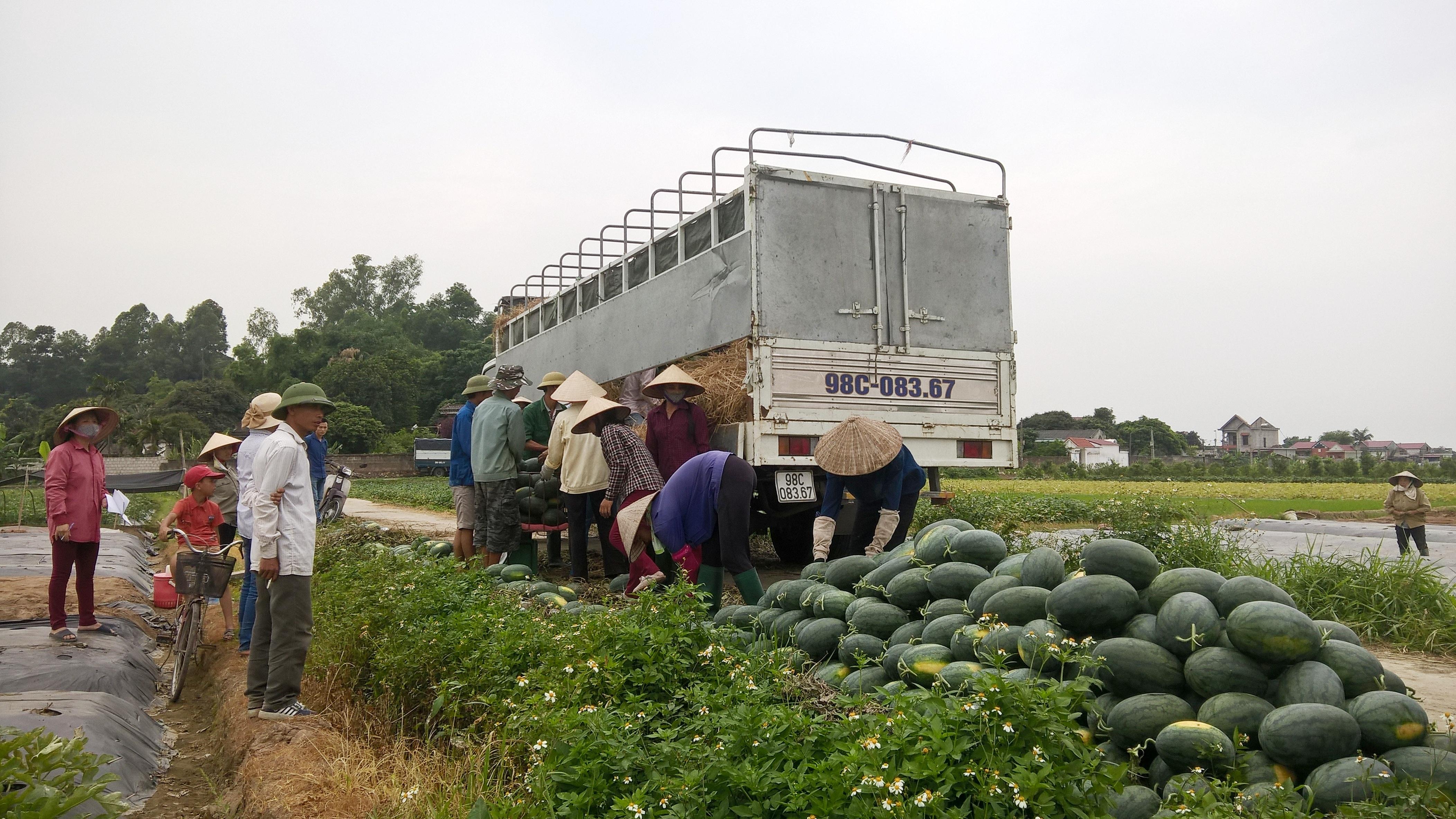 Hai xe tải 12 tấn đang bốc dưa hấu của người dân. Theo chủ hàng, dưa này sẽ được xuất sang Trung Quốc