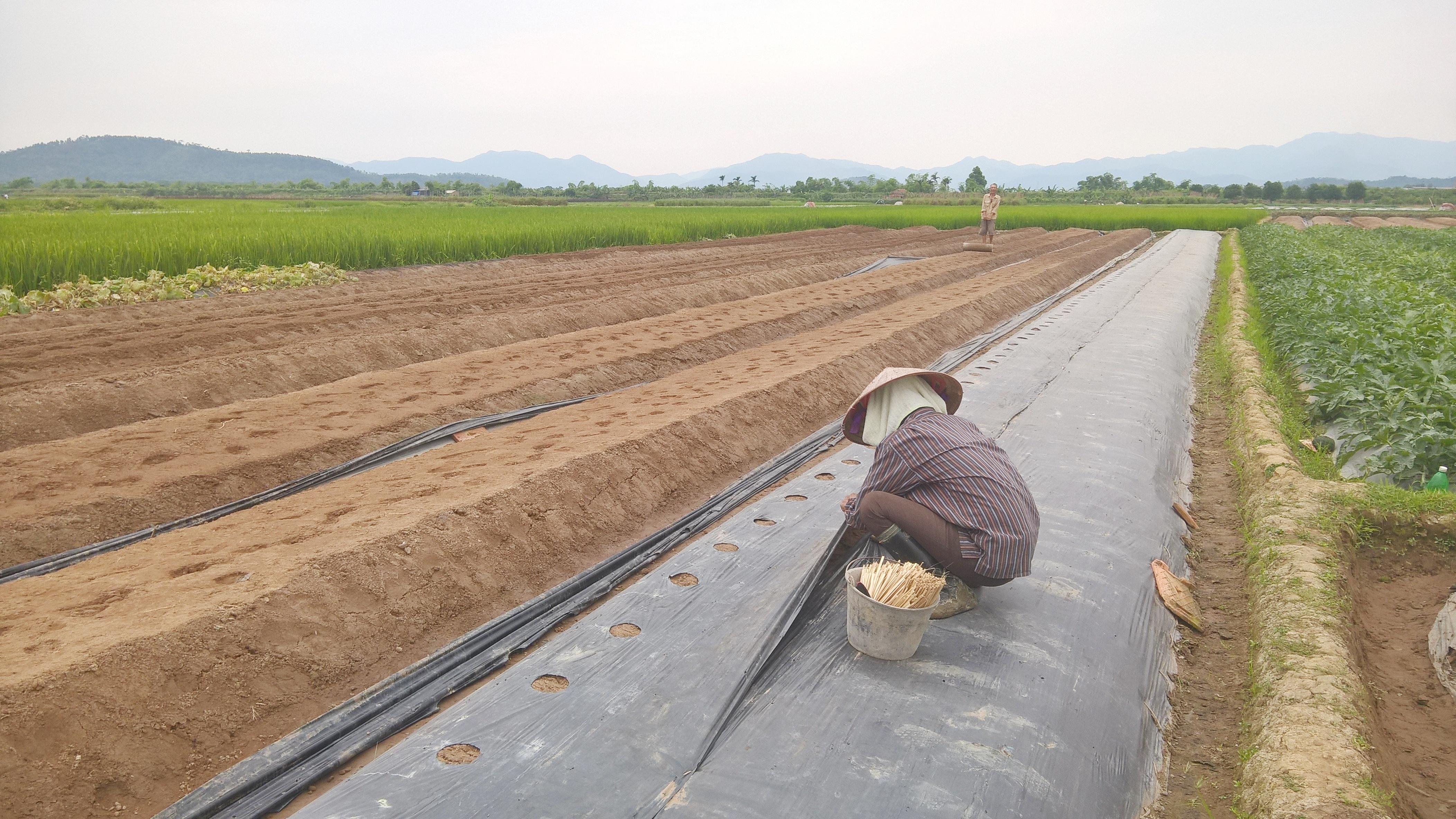 Một vụ dưa trồng trong từ 2 - 3 tháng cho thu hoạch, dù vất vả nhưng lại cho kinh tế cao hơn hẳn với trồng lúa và hoa màu khác.
