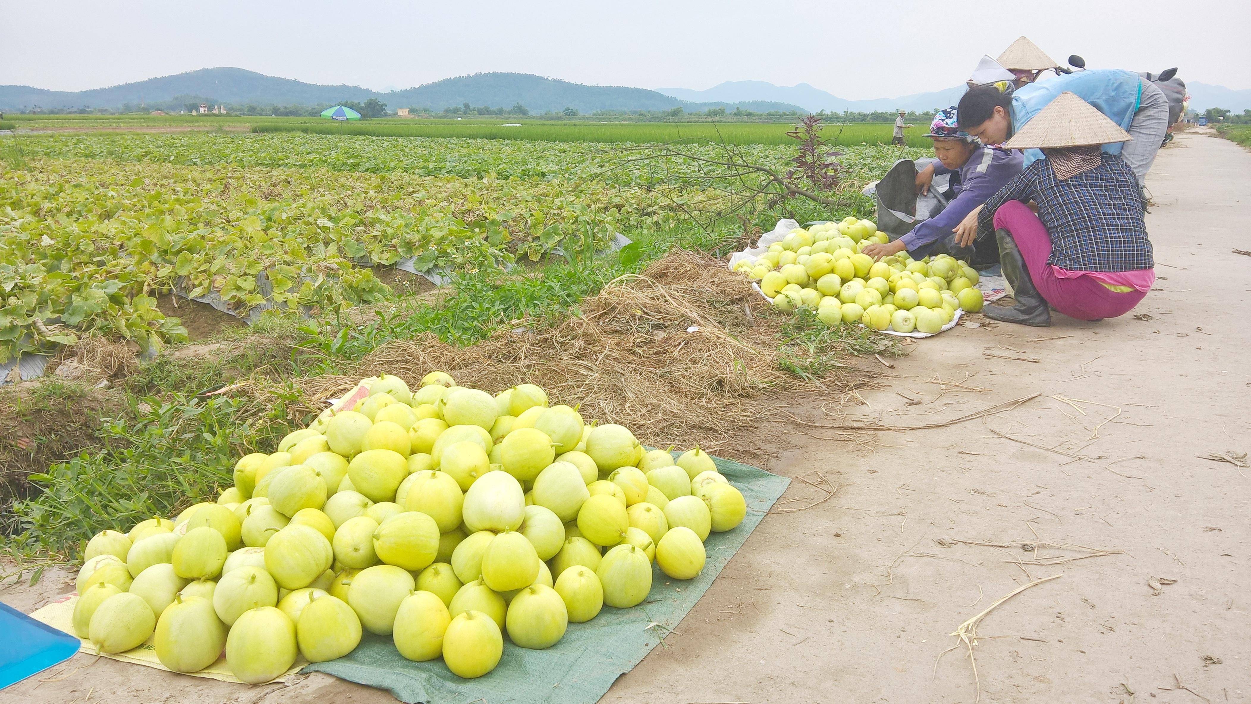 Ngoài dưa hấu, dưa lê, dưa bở cũng được trồng đan xen vào những luống dưa hấu. Giá loại dưa này rẻ song đây là những loại hoa quả sạch đang được nhiều người đón nhận, đặc biệt thị trường trong nước.