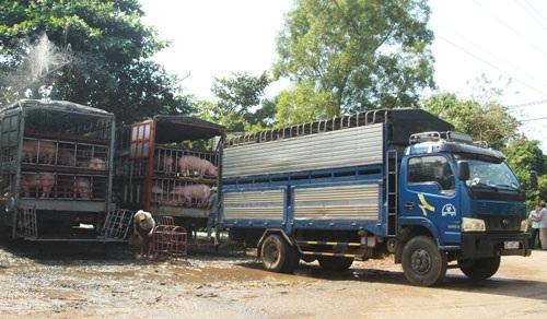 Sau thời gian Trung Quốc nhập khẩu heo thịt ồ ạt, hai tháng gần đây thương lái Trung Quốc đã giảm mạnh mua heo, khiến giá thịt heo xuất chuồng trong nước giảm mạnh.