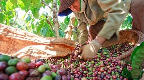 Quá trình sản xuất của Tổng Công ty Cà phê hết sức yếu kém, thua lỗ kéo dài (ảnh: Vinanet)