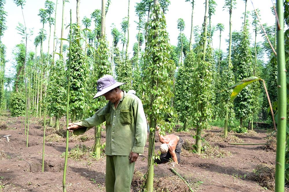 Cây hồ tiêu là cây trồng đòi hỏi sự đầu tư lớn và đòi hỏi chế độ trồng và chăm sóc