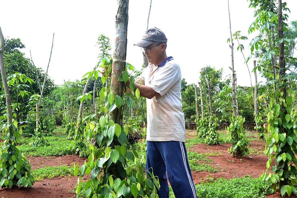 Gia đình ông Hà Cảnh Phán, ấp Thọ Lộc, xã Xuân Thọ, huyện Xuân Lộc đã quyết định chặt bỏ vườn chôm chôm để chuyển sang trồng tiêu