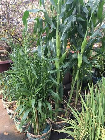 Theo nhiều nhà vườn, năm mới trưng bắp để làm ăn chắc như bắp