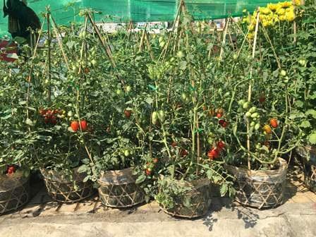 Kiểng cà chua cùng tham gia khoe sắc