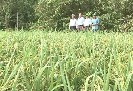 Lúa Sỏi phá quang kỷ phát triển tốt trên vùng đất mặn huyện Hồng Dân tỉnh Bạc Liêu (ảnh Tường Vy)
