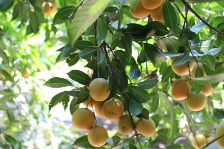 Những quả thanh trà da trơn, chín mọng vàng rực cả khu vườn