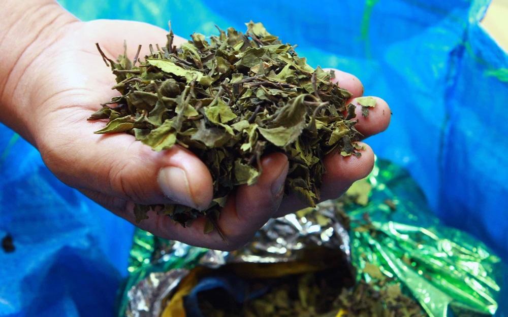 """Đây là loại ma tuý cực độc, thường được biết đến tại Việt Nam với tên gọi """"lá khat"""". Loại thảo mộc này được trồng chủ yếu ở châu Phi. Ở Việt Nam, đây là loại ma túy bị cấm sử dụng tuyệt đối."""
