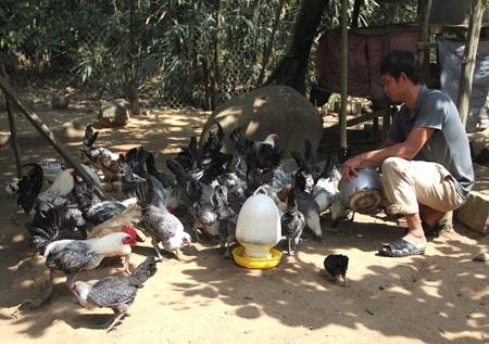 Đàn gà Ai Cập trong mô hình chăn nuôi của anh Hải