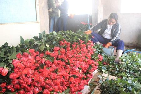 Hoa hồng Đà Lạt rục rịch tăng giá