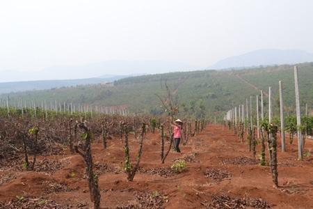 Nhiều nông dân đang bắt đầu chặt bỏ vườn cà phê chăm sóc nhiều năm trời với giá trị hàng trăm triệu đồng để trồng chanh dây