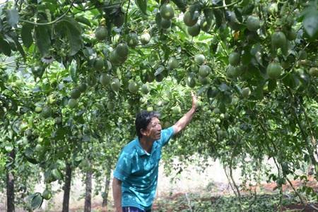 Quả chanh tăng giá và giá dây giống có nguồn gốc từ Trung Quốc cũng tăng giá cao khiến nhiều nghi vấn đặt ra