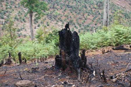Những gốc cây to như thế này nhưng được chủ rừng cho rằng chỉ là cây dại, là rẫy bỏ hoang của người dân