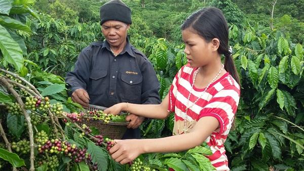 Già HMơk hướng dẫn cho thanh niên trong làng hái cà phê