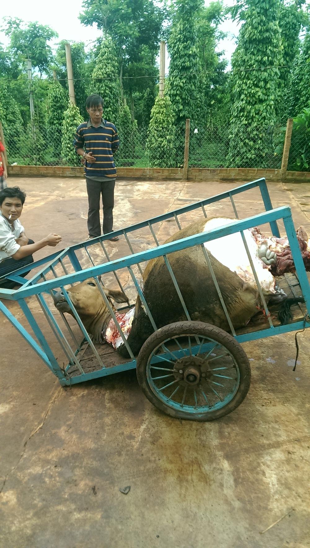 Con bò bị giết hại dã man và xẻ lấy 1 phần cơ thể