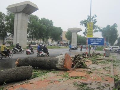 Hà Nội từng chặt hạ hàng loạt xà cừ trên đường Nguyễn Trãi để phục vụ dự án đường sắt trên cao (Ảnh Nguyễn Dương)