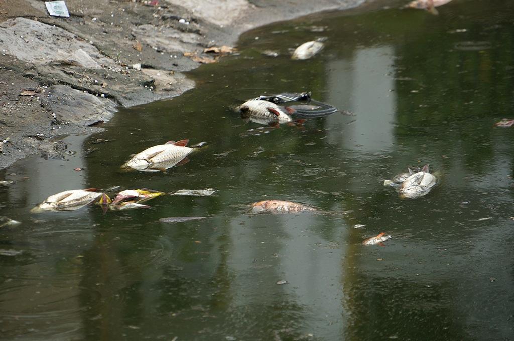 Hàng loạt cá chết ở hồ Hoàng Cầu (Ảnh Mạnh Thắng)